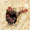 Iridomyrmex purpureus - Southern Meat Ant
