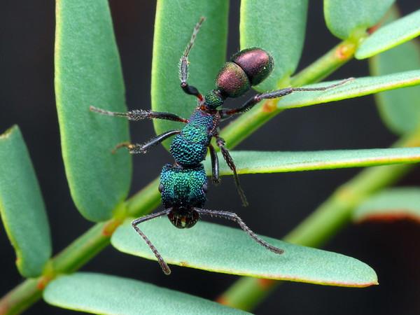 Rhytidoponera metallica - Greenhead Ant