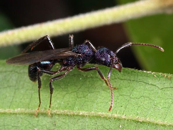 Rhytidoponera purpurea