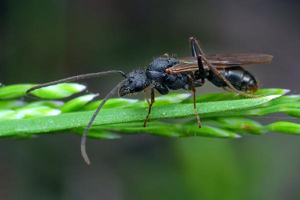 Rhytidoponera sp. (male)