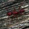 Rhytidoponera croesus_cf