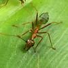 Oecophylla smaragdina - Green Tree Ant