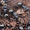 Polyrhachis (Campomyrma) sp.