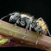 Polyrhachis (Hagiomyrma) vermiculosa - Footpath Spiny Ant