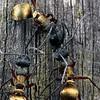 Polyrhachis (Hagiomyrma) rufifemur - Red-legged Spiny Ant
