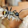 Polyrhachis (Hagiomyrma) ammon - Golden-tailed Spiny Ant