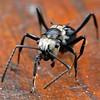 Polyrhachis (Hedomyrma) daemeli - Daemel's Spiny Ant