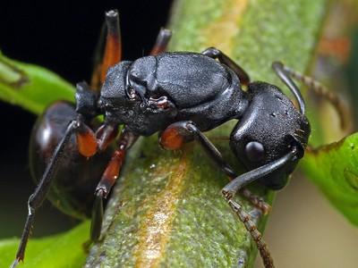 Polyrhachis (unplaced)