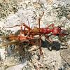 Myrmecia brevinoda mating pair