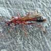 Myrmecia brevinoda male
