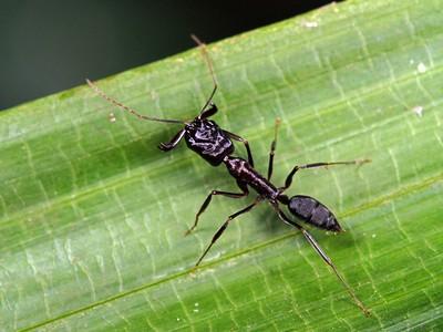 Odontomachus - Trap-jaw Ants