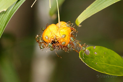 Green Tree-ants