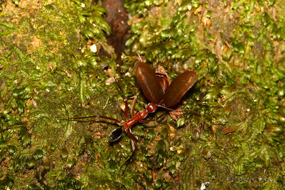 Red Spider Ant