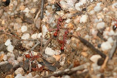 Red Bull Ants