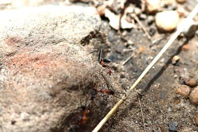 Spider Ants