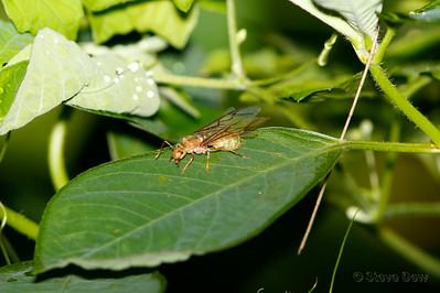 Green Tree Ant - Queen