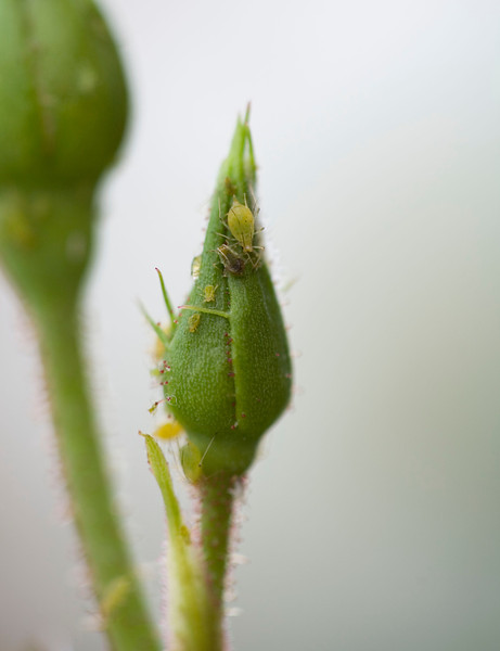 Aphids and whitefly on a rosebud. Macrosiphon rosae. These garden pests develop on the shoots and buds of roses and deform the flowers. They are usually controlled by insects such as ladybirds and little birds called white-eyes