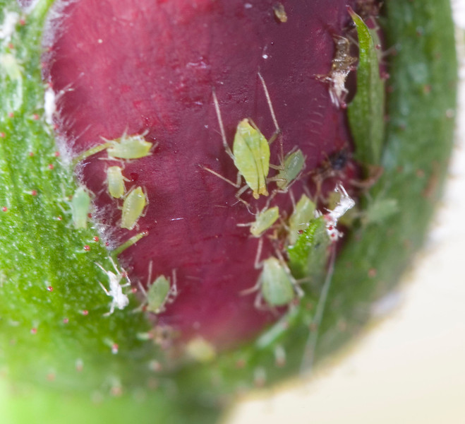 aphid, aphids, rose aphid, common rose aphid, macrosiphon rosae, plant lice, greenflies, aphididae, family aphididae, insect, pest, garden pests, plant pests