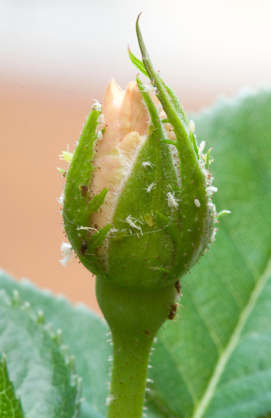 Aphids and whitefly on a rosebud