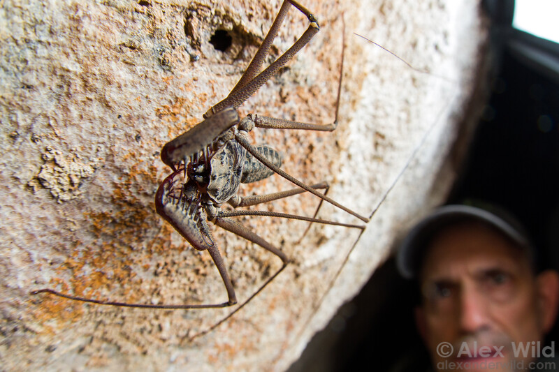 Entomologist Tom Myers watches a Paraphrynus tailless whipscorpion in a Belizean cave.  Armenia, Belize