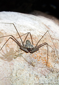 A Paraphrynus tailless whipscorpion walks along a limestone cave wall.  Armenia, Belize