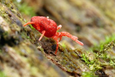 A predatory velvet mite forages along a mossy log in an eastern deciduous forest.  Urbana, Illinois, USA