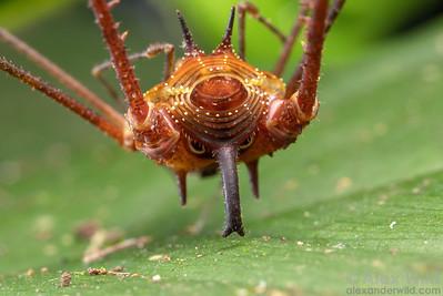 Ventrivomer ancyrophorus