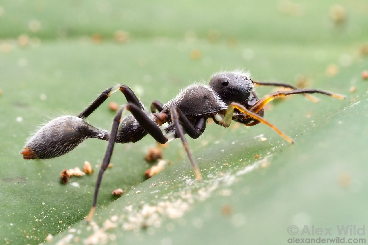 """The best mimic spiders are good enough to be identified as particular ant species. This jumping spider is a convincing Pseudomyrmex twig ant mimic. Note how the spider fakes a """"neck"""" with a ring of white hairs.   Armenia, Belize"""