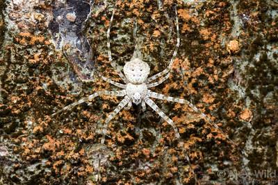 Hersiliidae