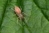 Araneae sp., Rudersdal, Danmark, Jun-2014