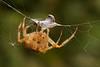 European Garden Spider, Korsedderkop,  Araneus diadematus, Rudersdal, Danmark, Aug-2014