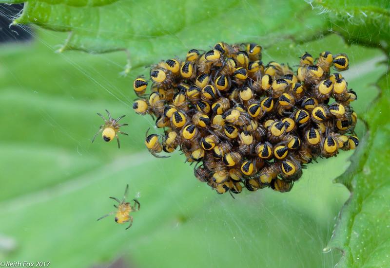 European garden spider, Korsedderkop; Araneus diadematus