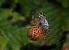 European Garden Spider, Korsedderkop,  Araneus diadematus, Rudersdal, Danmark, Sep-2011
