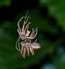 A crab spider moulting its skin, Rudersdal, Danmark, Jun-2014