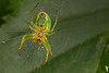 Araniella cucurbitina, Cucumber green spider, Rudersdal, Danmark, Jun-2014