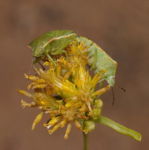 Thyanta sp pair, October