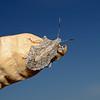 Brochymena sp, November