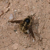 Bee Fly, March