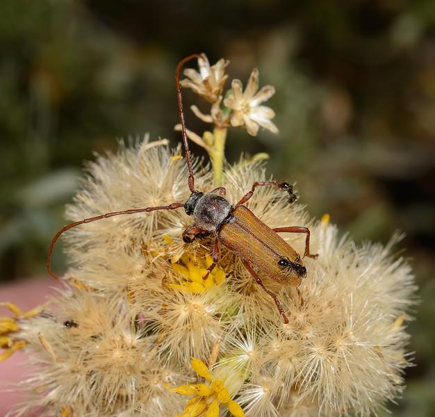 Crossidius suturalis pubescens, October