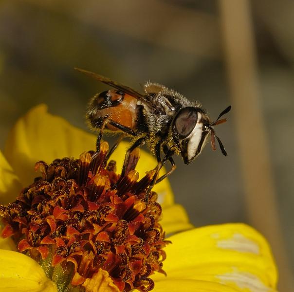 Copestylum marginatum female, March