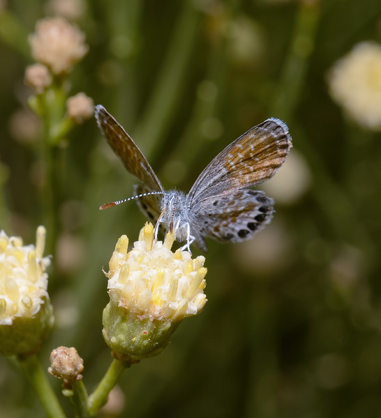 Western Pygmy Blue - Brephidium exilis, October