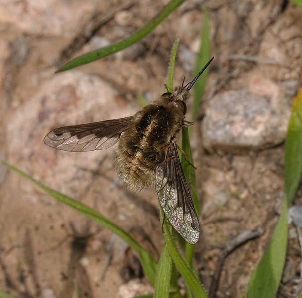 Heterostylum sp, March