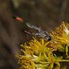 Ammophila sp, October