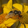 Eristalis sp male, March