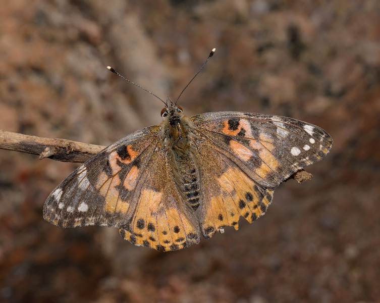 Painted Lady - Vanessa cardui, March