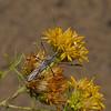 Zelus tetracanthus, October