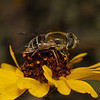 Eristalis sp female, March