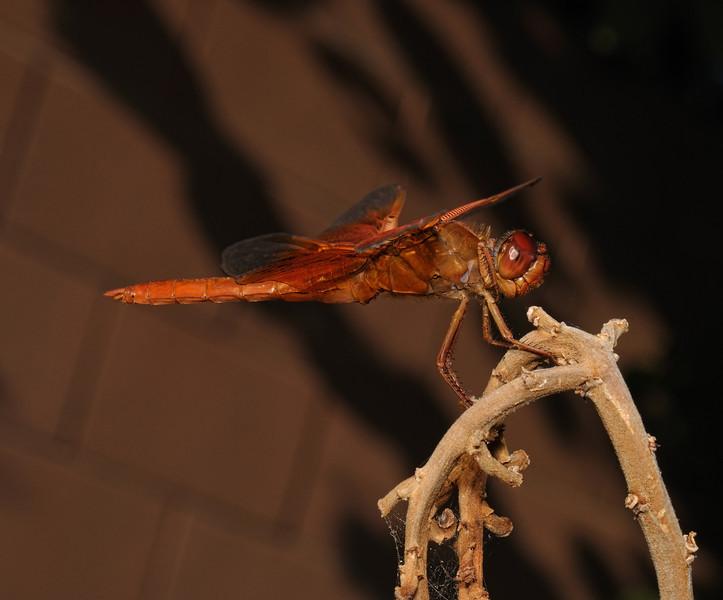 Flame Skimmer - Libellula saturata male, October