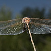 Variegated Meadowhawk - Sympetrum corruptum, October