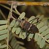 Leptoglossus clypealis, October